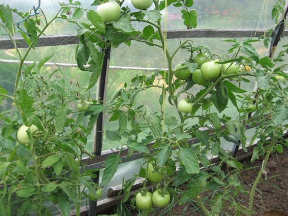 уход за помидорами в дачной теплице