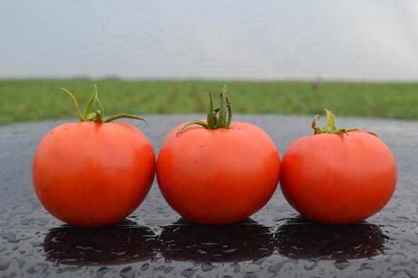 томаты, устойчивые к фитофторозу