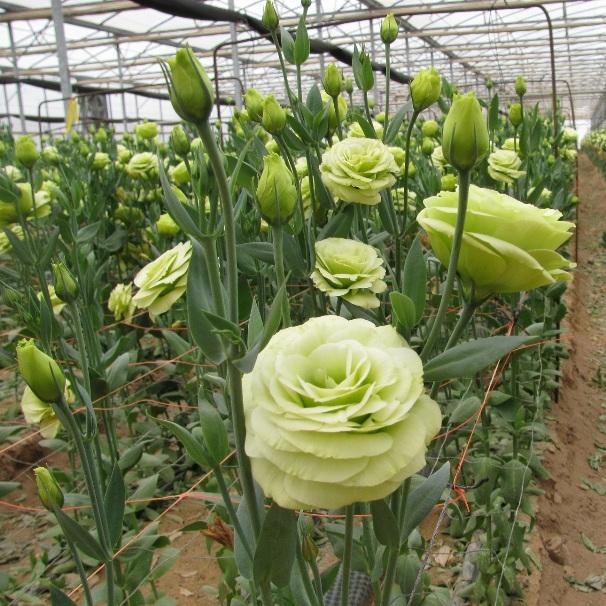 Цветы эустомы в теплице