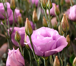 Цветы эустомы