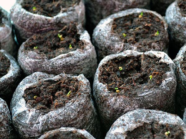 Проращивание семян эустомы на рассаду