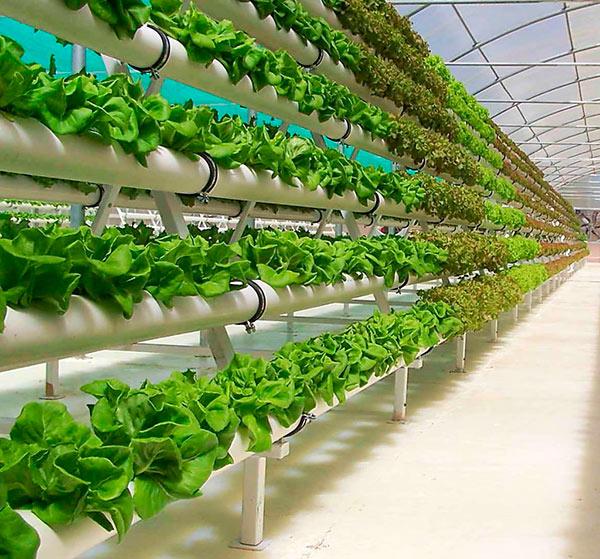 Выращивание салата в гидропонной установке