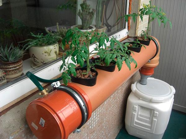 Выращивание томатов в гидропонной установке