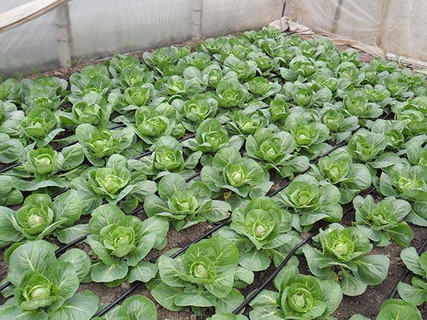 Выращивание капусты в теплице