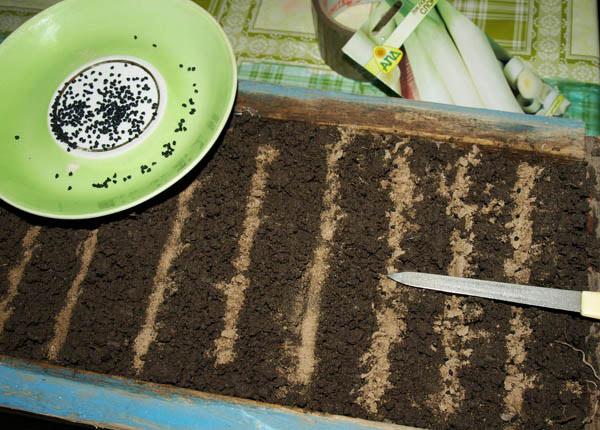 Посев семян лука Эксибишен