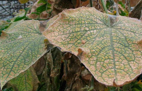Паутинный клещ на листьях