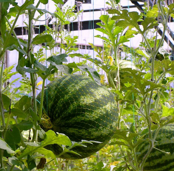 Для сохранности плодов арбуз можно подвязать в сетке