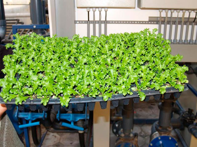 Выращивание салата в теплице