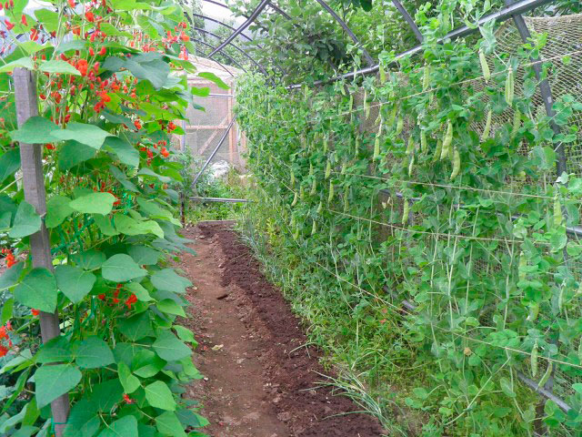 Высокорослый горох необходимо выращивать на шпалерах