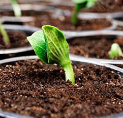 Как замачивать семена тыквы