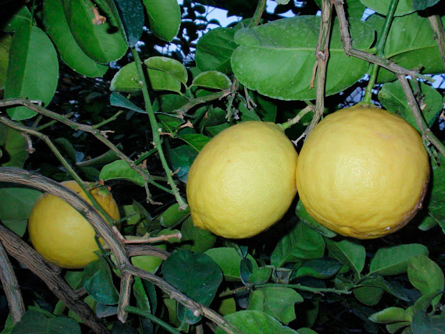 Лимон в теплице