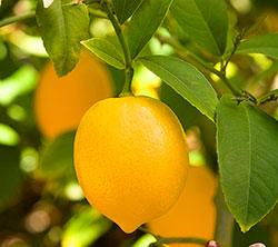 Лимон а теплице
