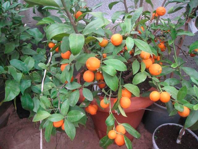 Выращивание мандаринов
