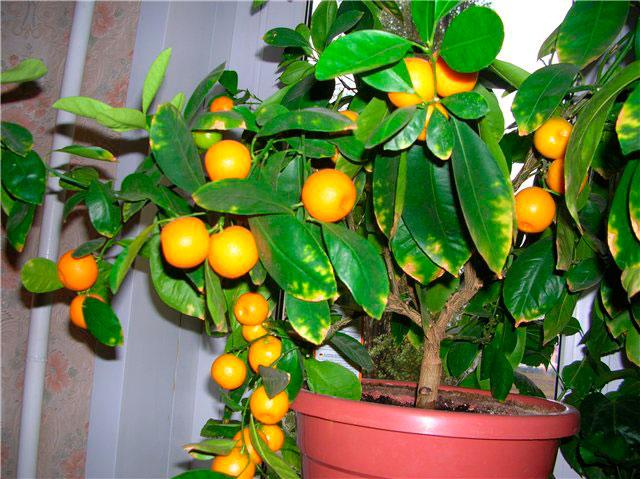 Косточки мандарина перед посадкой лучше прорастить