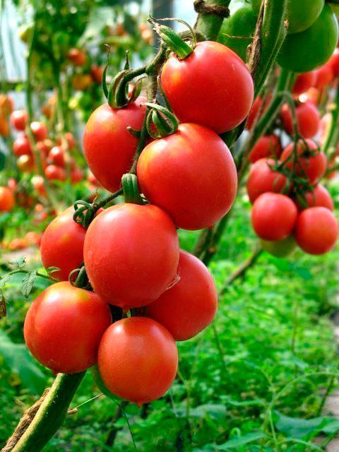 Вес томатов - до 130 грамм