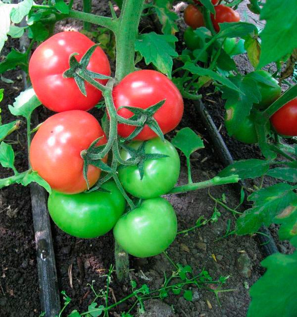 Огородники ценят томат Сибирский скороспелый за созревание даже в в плохих погодных условиях