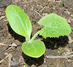 Как отличить рассаду тыквы от кабачка - eТеплица