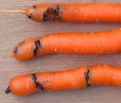 Червивая морковь