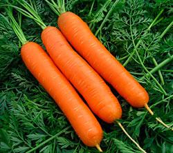 Посадка моркови по лунному календарю