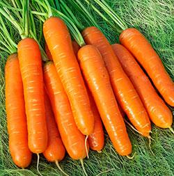 Морковь «Нантская»