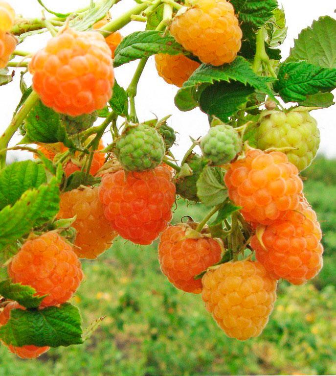 Золотые купола - высокоурожайный сорт малины