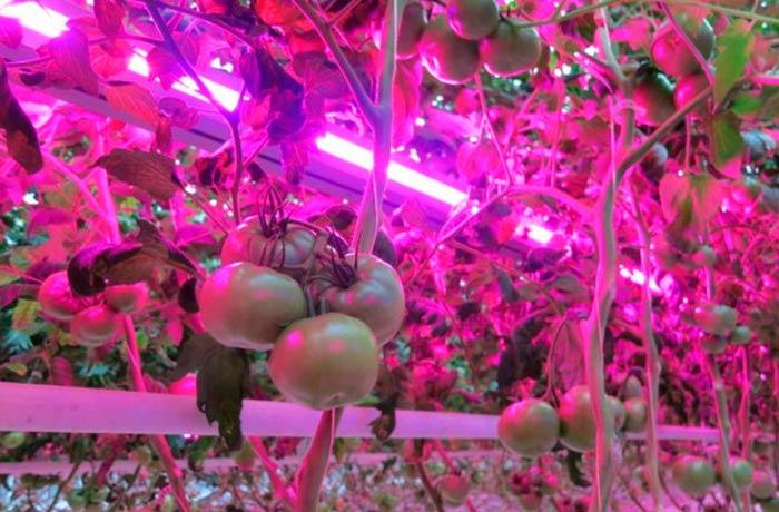 Сколько света нужно овощным культурам