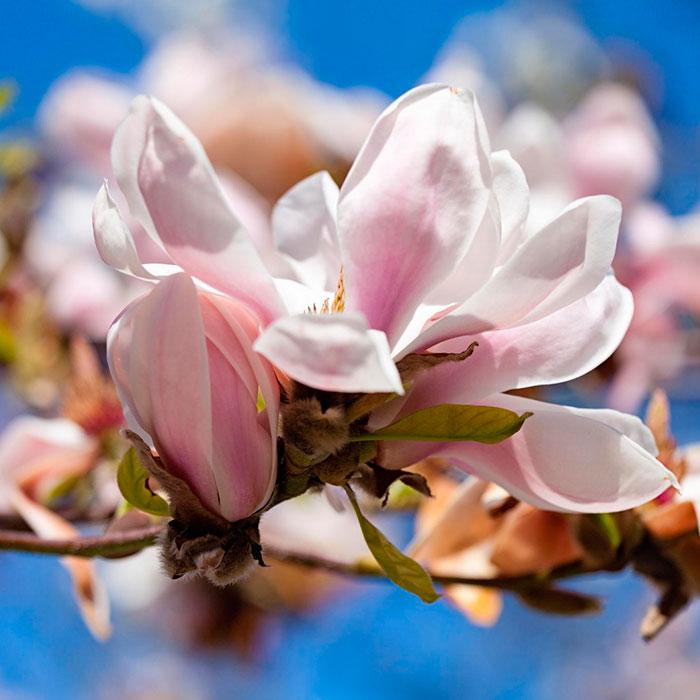 Tulip magnolia tree: Full Care and Propagation Guide 5