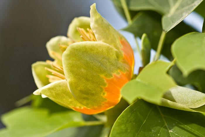 Tulip magnolia tree: Full Care and Propagation Guide 7