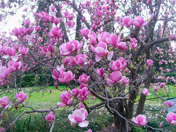 Tulip magnolia tree: Full Care and Propagation Guide 4