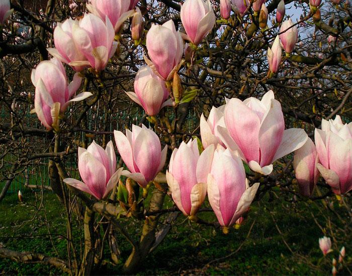 Tulip magnolia tree: Full Care and Propagation Guide 6