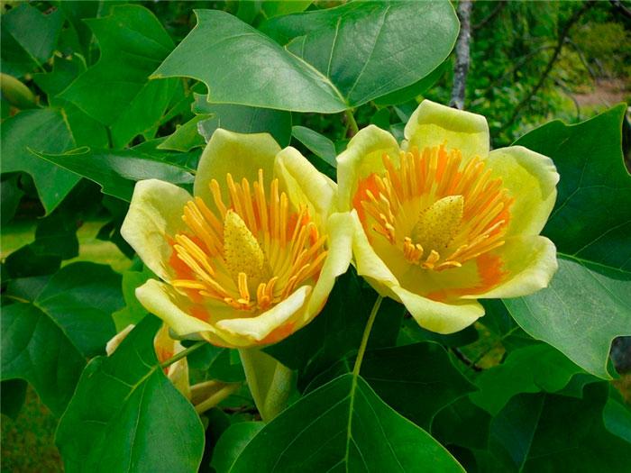 Tulip magnolia tree: Full Care and Propagation Guide 2
