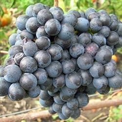 Виноград сорта памяти Домбковской