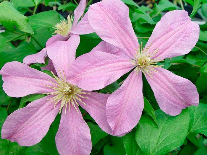 Клематис комтесс де бушо: фото и описание, отзывы садоводов » eТеплица
