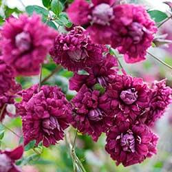Клематис «Пурпуреа плена элеганс»