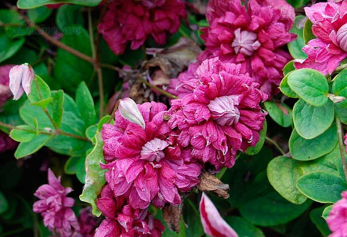 Клематис пурпуреа плена элеганс : описание сорта, посадка и уход