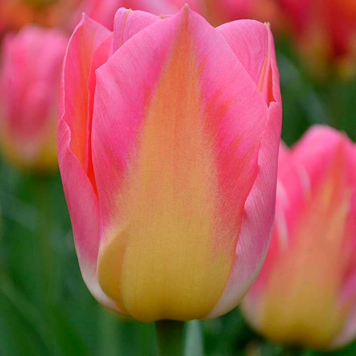 Лучшие сорта желтых тюльпанов