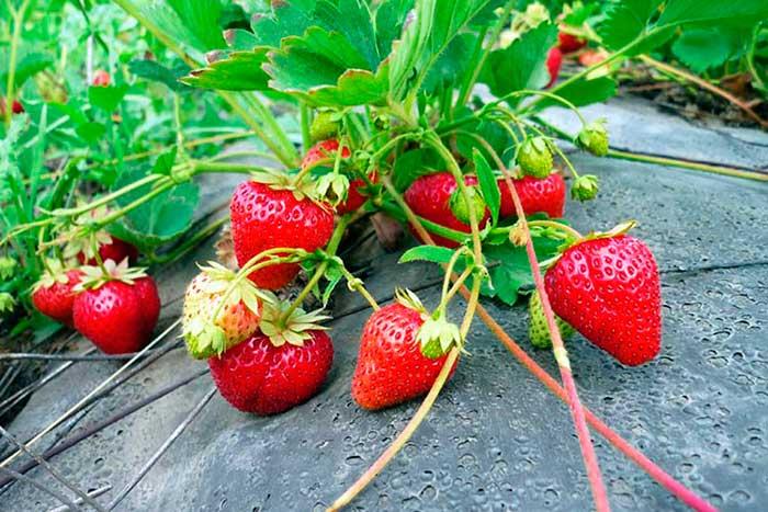 Финская технология выращивания клубники