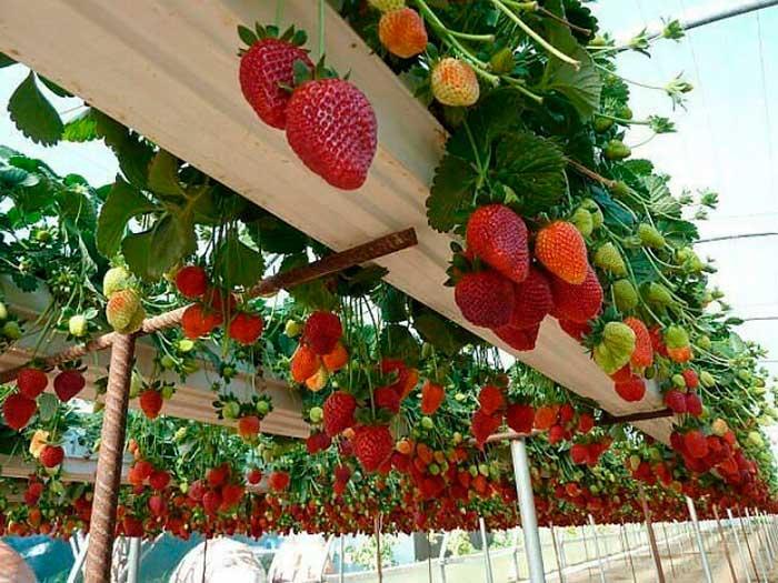 голландская технология выращивания клубники в закрытом грунте