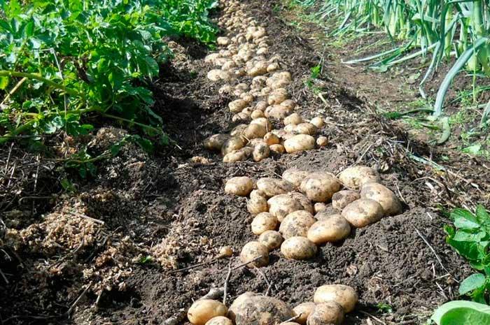 Выращивание картофеля на сене и соломе. Особенности выращивания картофеля под укрытием из сена или соломы