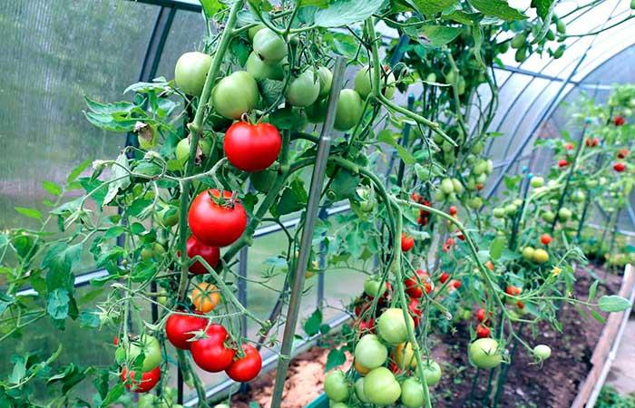 При какой температуре растут томаты