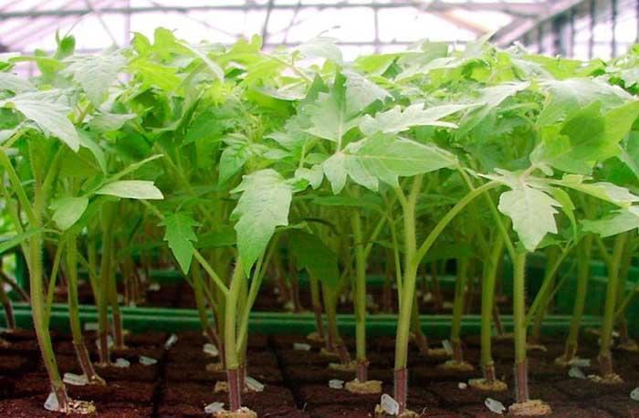 Оптимальная температура для выращивания помидоров