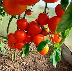 Температура для помидор