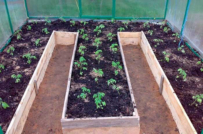 Какие выбрать высокорослые томаты для теплиц для выращивания на дачном участке?
