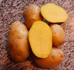 Картофель сорта «Венета»
