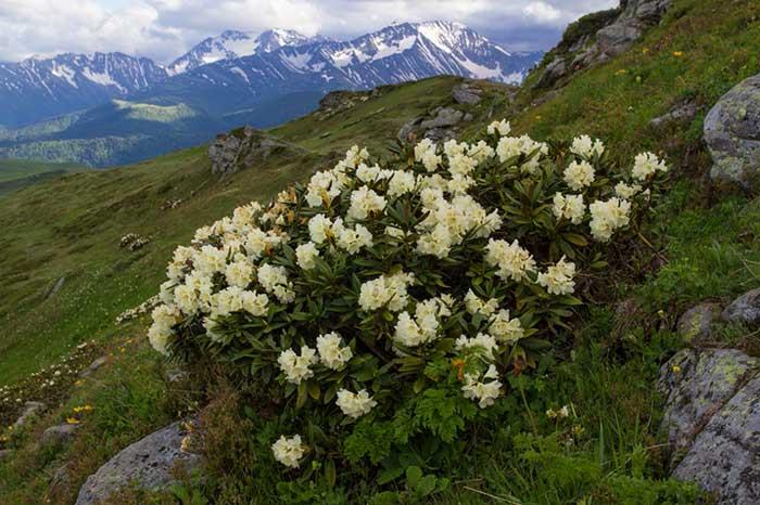 Рододендрон кавказский