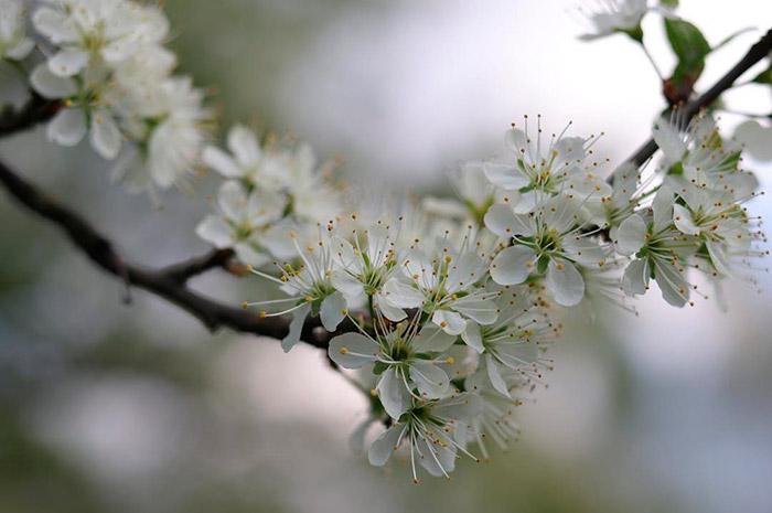 В зависимости от сорта, с одного дерева можно собирать до 30-50 кг плодов