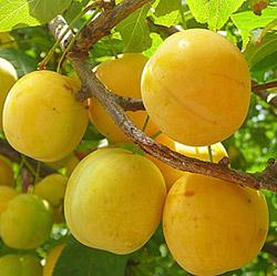 Желтая самоплодная слива