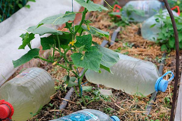 Капельный полив пластиковыми бутылками
