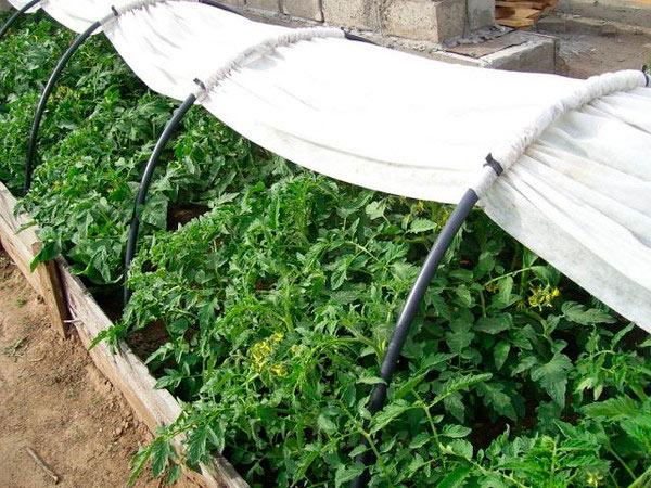 """Выращивание помидоров в парнике """"Подснежник"""""""