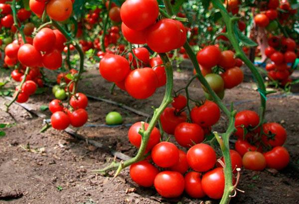 Парниковые томаты